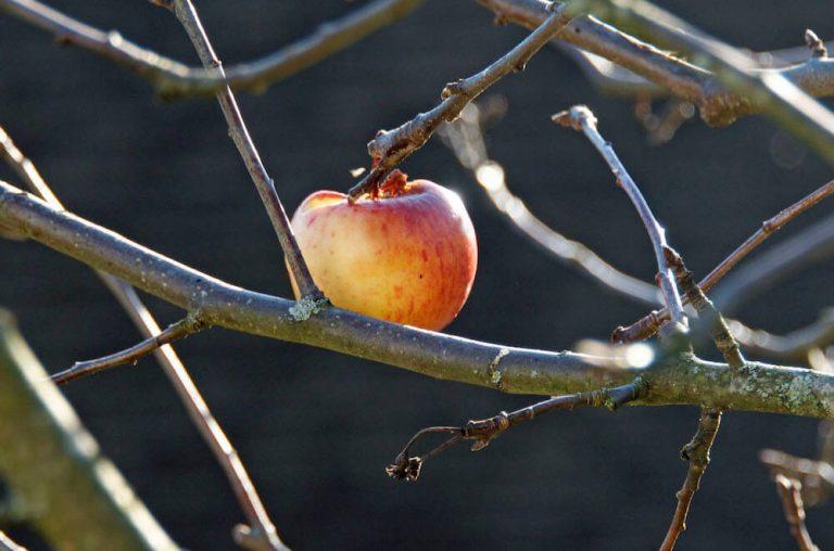 Der vergiftete Apfel