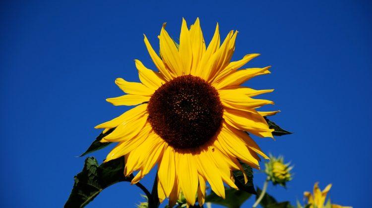 Die Sonnenblume für die Integration der männlichen Anteile