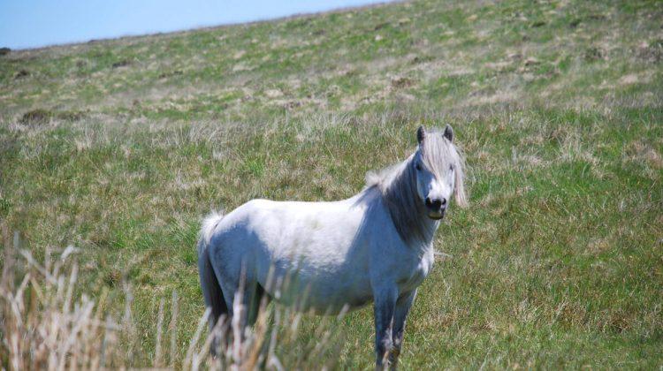 Weisses Pferd
